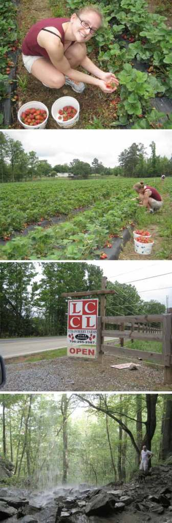 Pick-your-own strawberries at LCCL Farms in north Georgia, near Rome and Armuchee!