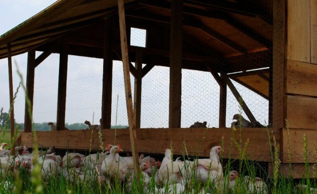 White Oak Pastures in south Georgia is building an on-site abattoir for organic poultry